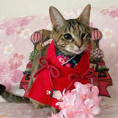 初節句/雛祭り/ひな祭り/アメショ/アメリカンショートヘア/保護猫/... ももちゃん 初めてのひな祭り🌸✴🎎✴🌸 …(3枚目)
