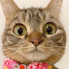 ふわもこ部/猫部/ねこ/保護猫/スコティッシュフォールド/スコティッシュ/... 友子ちゃんのドアップ😻💕 よ~く見てると…