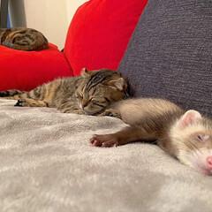 スコティッシュフォールド/スコティッシュ/小動物/フェレット/LIMIAペット同好会/フォロー大歓迎/... ぼくの小さい弟は 眠りながらよく動くにゃ…(8枚目)