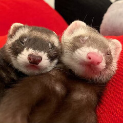 兄弟/寝相/お昼寝/エキゾチックアニマル/小動物/フェレット/... なかよくスヤスヤ😴 双子のような兄弟🐻❤…(2枚目)