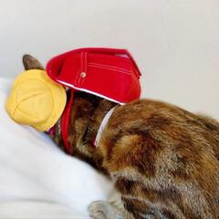 仔猫/子猫/入学式/アメリカンショートヘア/アメショ/1年生/... 私の最近のお気に入り写真😸  1年生の年…(5枚目)