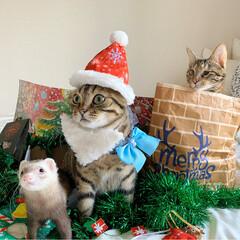 保護猫/猫部/スコティッシュフォールド/スコティッシュ/小動物/フェレット/... もうすぐクリスマス🎅🏼🎄🎂🍷🎁⛄️🎉 (2枚目)
