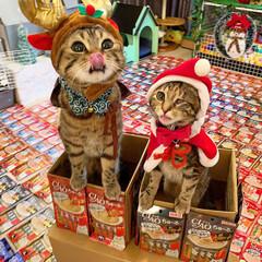 プレゼント/トナカイ/お菓子/ちゅーる/サンタクロース/アメリカンショートヘア/... ぼく達が、にゃんこのみんなに ちゅーるを…(2枚目)