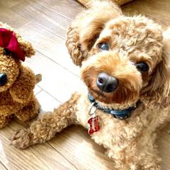 トイプードル/家族/愛犬/犬 我が家の長女ももち3才3ヶ月と次女のねね…