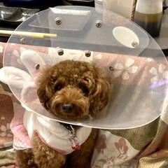 トイプードル/トイプードル部/いぬ/ペット 我が家の長女もも🍑 5日間の入院から帰宅…