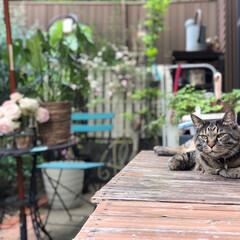 猫のいる暮らし/休日の過ごし方/garden/ペット/猫 うちのレンさん❣️ 庭で日向ぼっこするの…