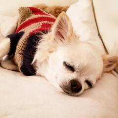 うちの子/チワワ/秋/ペット/犬/住まい 安心しきって寝ています😊いびきもかいたり…