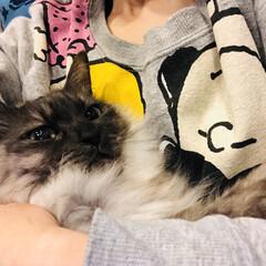 猫/暮らし 私の腕の中でまったりしているサラっちょ😼…(2枚目)
