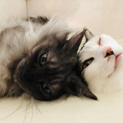仲良し/猫 いつも仲良し💕 レイ&サラ😻