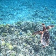 海亀/zamami/okinawa/海が好き/おでかけワンショット/沖縄/... 大好きな座間味の海で出会えたウミガメ