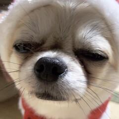 かぶりもの/チワワ/犬と暮らす/ペット/犬/うちの子ベストショット こじろうが特にかぶりもの嫌いみたいで顔に…(1枚目)