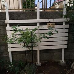 フェンスDIY バラが映える白フェンスで庭が明るく