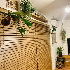 ハンギンググリーン/ハンギング/コウモリラン/ビカクシダ/観葉植物のある暮らし/観葉植物/... もっともっとグリーンを 増やしたいですー…