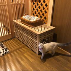 猫トイレ/お洒落な猫トイレ/IKEAの家具で猫トイレ/IKEA/猫と暮らす/保護猫/... IKEAの家具でお洒落猫トイレ♪  本当…(2枚目)