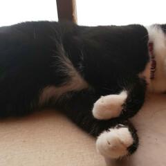 はちわれ/猫/俺は男 #隠れトラ柄 #豆蔵 #我... 猫の男(豆蔵)の日常。  (3枚目)