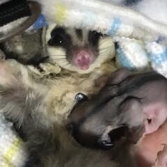 フクロモモンガ/フクモモ/ペット 脱嚢間近のベビーを抱いたフクモモのママぼ…