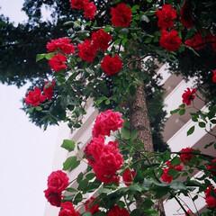 ナチュラル/ナチュラルスタイル/暮らしデザイン/自然/緑/緑のある暮らし/... 綺麗な花のある暮らし