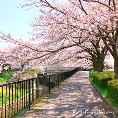 pink/Flower/花/菜の花/また来年/春のおとずれ/... * 桜と菜の花と…𓂃 𓈒𓏸❁ * 桜パ…(3枚目)