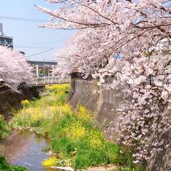 pink/Flower/花/菜の花/また来年/春のおとずれ/... * 桜と菜の花と…𓂃 𓈒𓏸❁ * 桜パ…(2枚目)