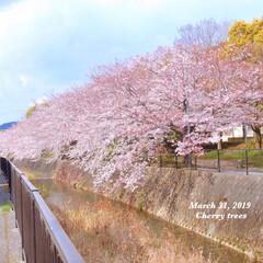 season/Flower/花/お散歩/季節感/季節/... * 桜パトロール🌸 * 8分咲きかな… …