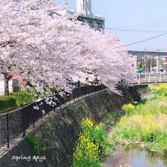 お花見散策/お花見/春のおとずれ/春の訪れ/春/season/... * 私の桜ギャラリー2019 * *
