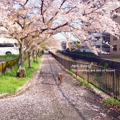 春のおとずれ/春の訪れ/春/season/SAKURA/さくら/... * 今朝の 桜パトロール🌸 * 昨夜の雨…