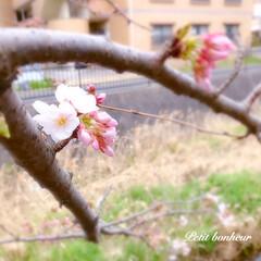 小さな幸せ/frower/花/pink/SAKURA/桜/... * Petit bonheur ⁎ˇ◡ˇ…