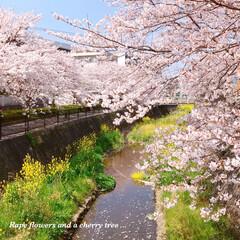 pink/Flower/花/菜の花/また来年/春のおとずれ/... * 桜と菜の花と…𓂃 𓈒𓏸❁ * 桜パ…