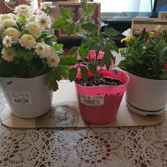 花のあるくらし/春のフォト投稿キャンペーン/春 さっき載せた写メが切れていたので、…再投…