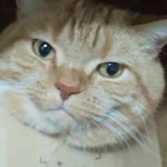 猫と暮らす/ネコ好き/スコティッシュフォールド立ち耳 暖かいのでしょーか…… まぁエアコンの風…(2枚目)