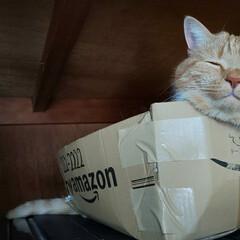 立ち耳スコティッシュフォールド/癒しねこ/愛猫 新しい新種の生き物発見👀 ダンボール背中…