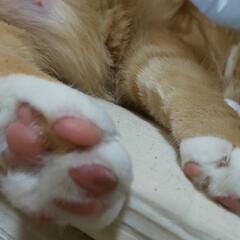 癒し系/愛猫 トラの肉球が桜色(〃艸〃)🌸