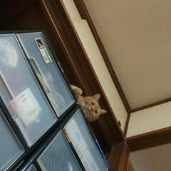 猫バカ/立ち耳スコティッシュフォールド 下界を見下ろすトラ😼 来れるもんなら来て…