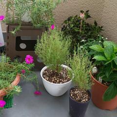 コリウス/コキア/ダンスパーティ/マツバボタン/ガーデニング/花 挿木にしたマツバボタン??何故か咲き方に…