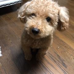 ペット/犬 今日は僕の弟を紹介します🐶 プチトマト大…(2枚目)