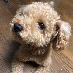 ペット/犬 今日は僕の弟を紹介します🐶 プチトマト大…(1枚目)