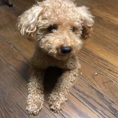 ペット/犬 今日は僕の弟を紹介します🐶 プチトマト大…(3枚目)