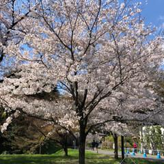 お花見/桜/春の一枚 皇居乾門の通り抜けから千鳥ヶ淵までテクテ…