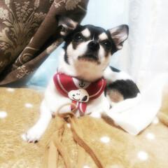 スムースチワワ/チワワ/犬/犬好き 私の相棒です  スムースチワワ  当時3…