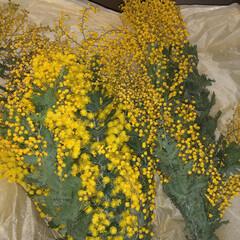 ミモザ/ギンヨウアカシア/ドライフラワー/インテリア/花/植物インテリア/... 今年のギンヨウアカシア😋  年々ギンヨウ…