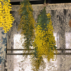 ミモザ/ギンヨウアカシア/ドライフラワー/インテリア/花/植物インテリア/... 今年のギンヨウアカシア😋  年々ギンヨウ…(4枚目)