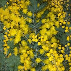 ミモザ/ギンヨウアカシア/ドライフラワー/インテリア/花/植物インテリア/... 今年のギンヨウアカシア😋  年々ギンヨウ…(2枚目)