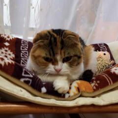 スコティッシュフォールドが好き/猫/にゃんこ同好会/おやすみショット 眠る瞬間のまどろみ