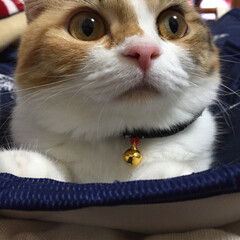 スコティッシュフォールドが好き/批判されても/ペット/ペット仲間募集/猫 「えっとね」 「うんとね」 「まぁいい」