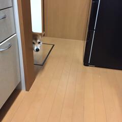 ペット/犬/柴犬/ひょっこりはん/覗き お母さんが台所で作業をしていると…ん?何…