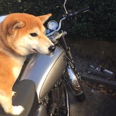 バイク/ペット/犬/柴犬 お父さんが大好きな柴犬雌2歳のてんちゃん…(1枚目)