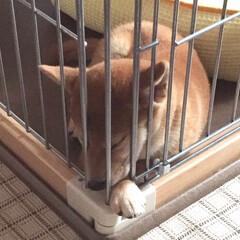 ペット/犬/柴犬/仔犬/お昼寝/あごのせ/... ここから出して〜遊ぶーに鼻と手を出したま…