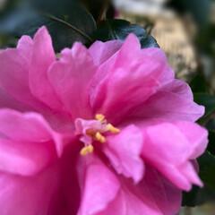 暮らし 山茶花が咲くと冬が近づいていると感じる …