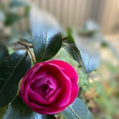 暮らし 山茶花が咲くと冬が近づいていると感じる …(2枚目)