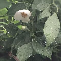 令和元年フォト投稿キャンペーン/風景 夏椿 頑張って咲いたのに 雨に打たれてか…(1枚目)